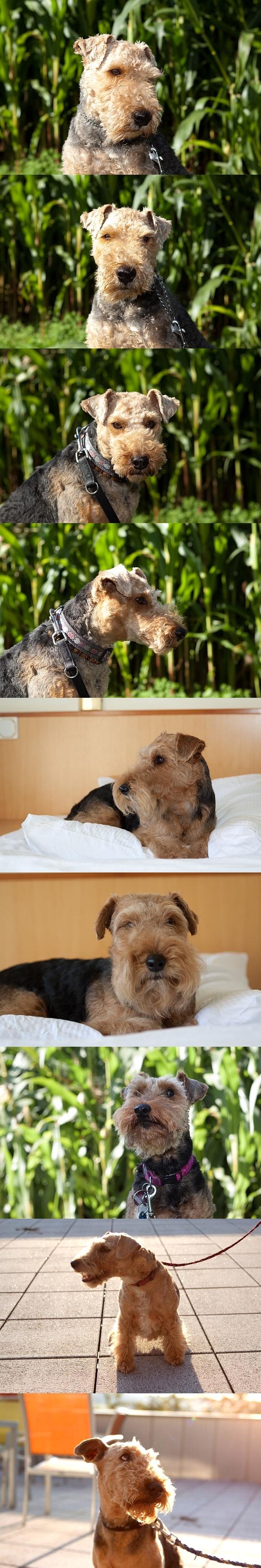 http://www.welsh-terrier-online.de/forum/bildupload/wtt_portrait.jpg